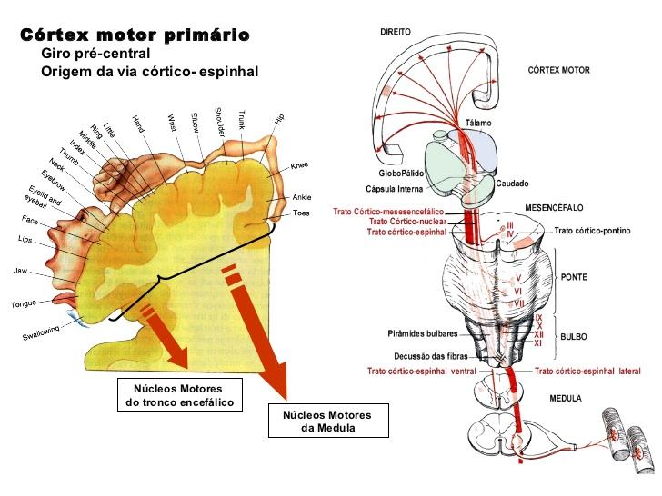 S.N.C. – Tronco encefálico – Mesencéfalo – Anatomia papel e caneta
