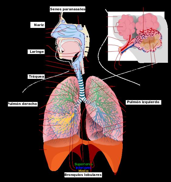 sistema respirat u00f3rio  u2013 anatomia papel e caneta
