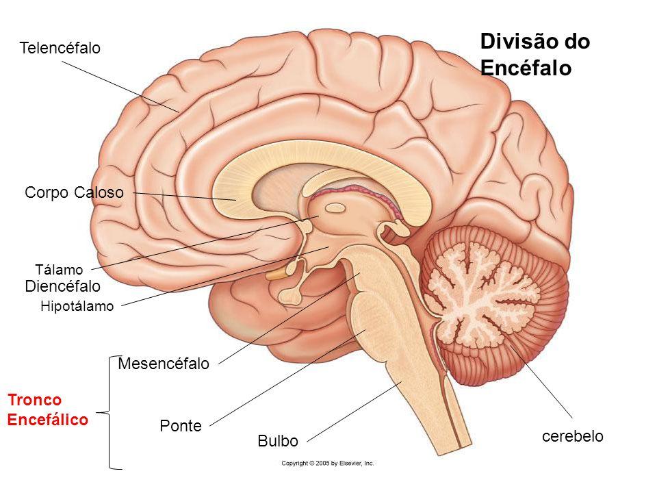 Único Anatomía Del Tallo Cerebral Cresta - Imágenes de Anatomía ...