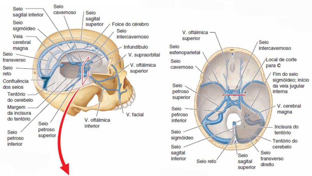 Excepcional Anatomía Vascular Cerebral Imagen - Imágenes de Anatomía ...