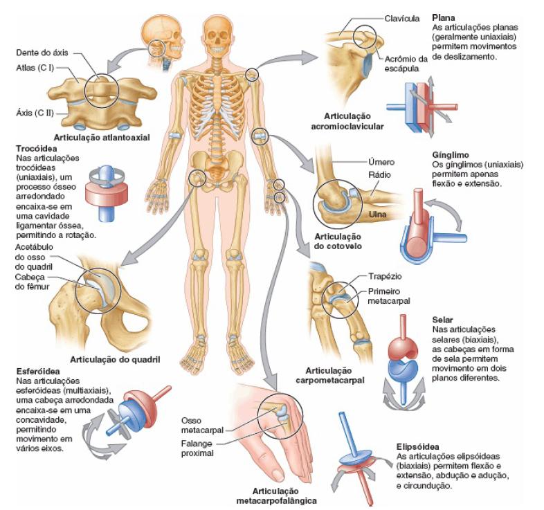 Sistema articular – Anatomia papel e caneta
