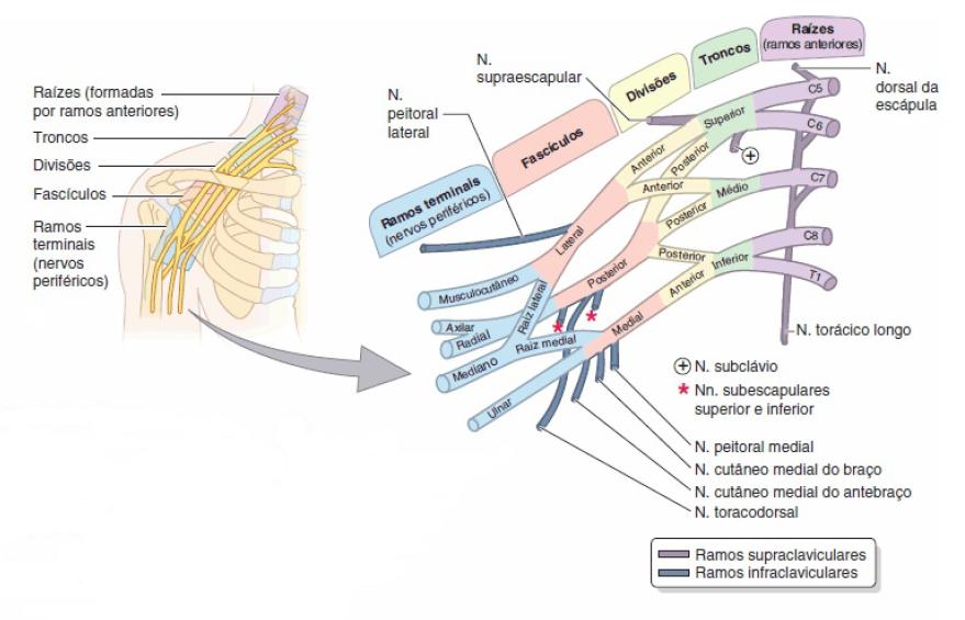 Bonito Mri Anatomía Del Plexo Braquial Patrón - Anatomía de Las ...