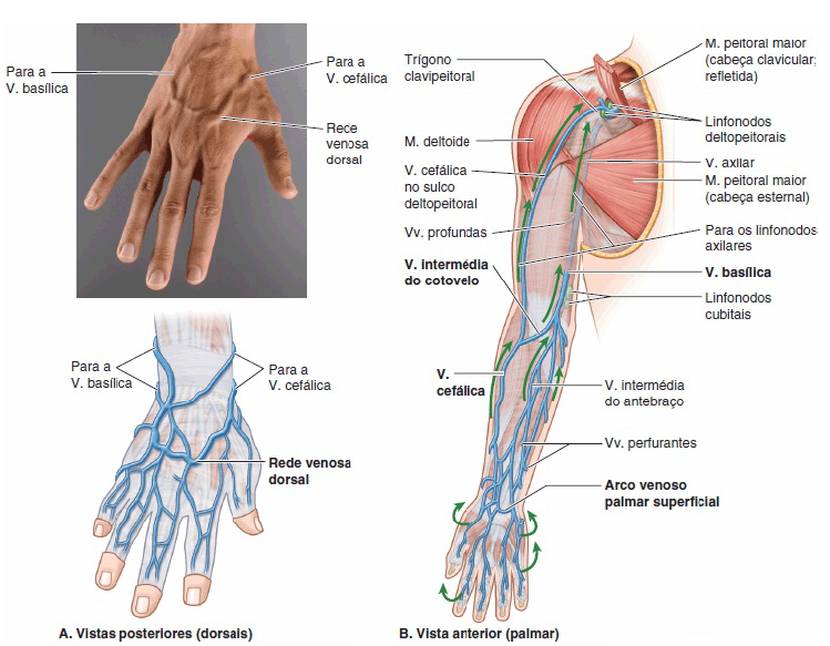 Vasos dos MMSS – veias – Anatomia papel e caneta