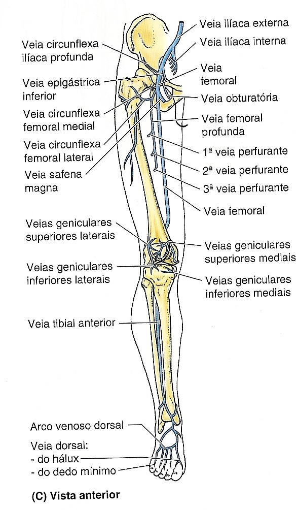 Vasos dos MMII – veias – Anatomia papel e caneta