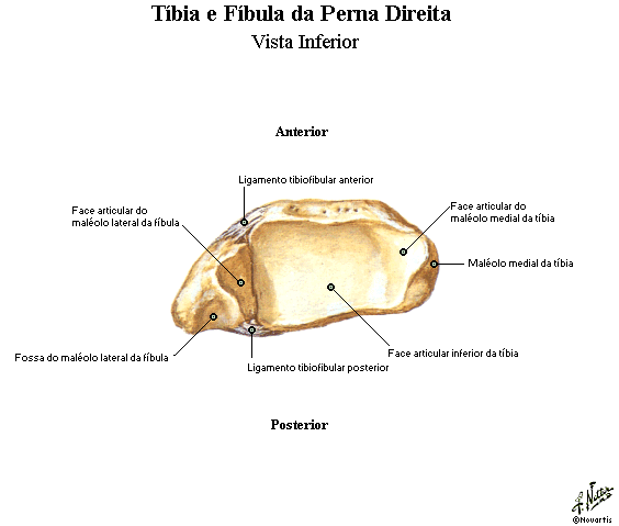 Tíbia e fibula 4