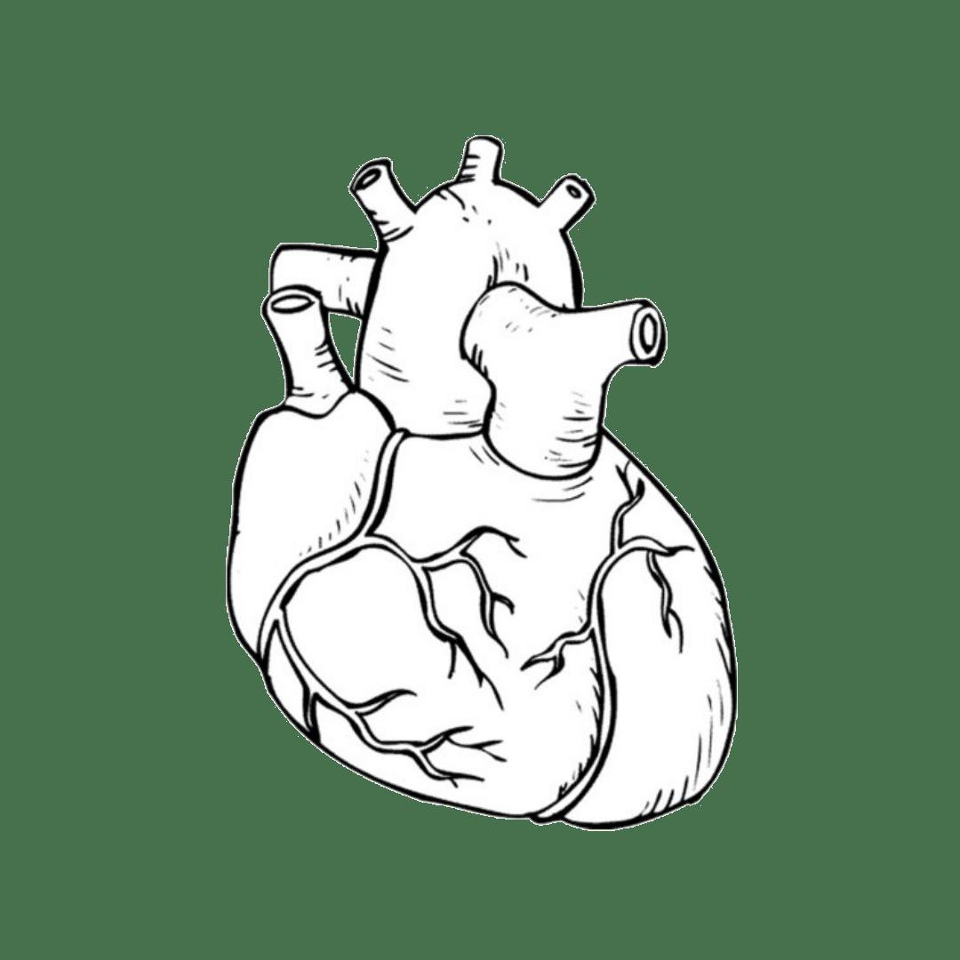 coração - sistema cardiovascular