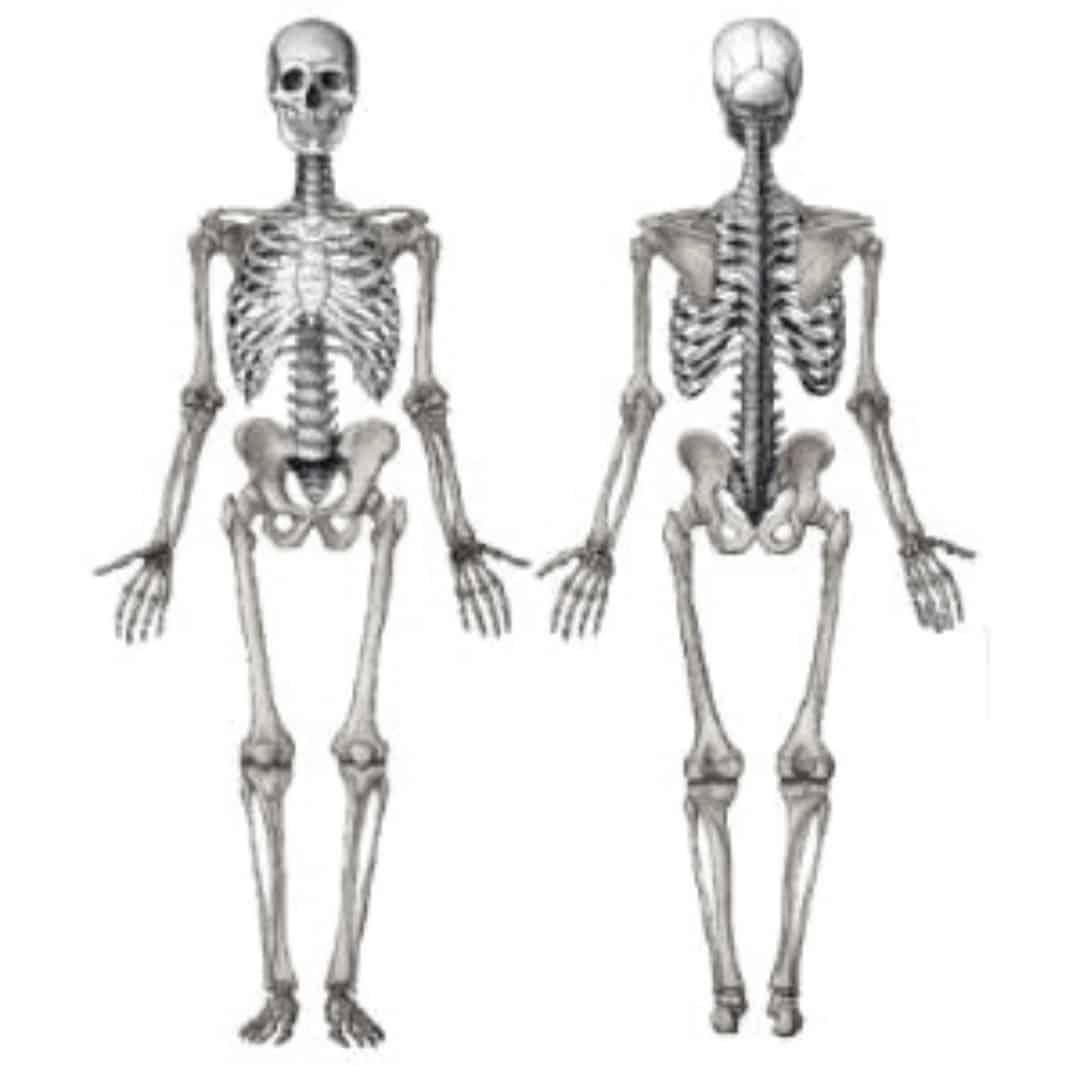 Esqueleto axial e apendicular