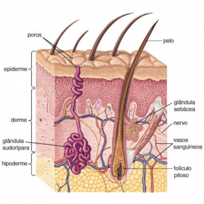 glandulas sebaceas e sudoriparas