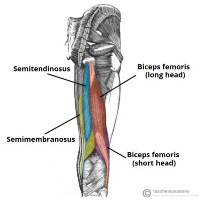 bíceps femoral - semimembranáceo e semitendineo