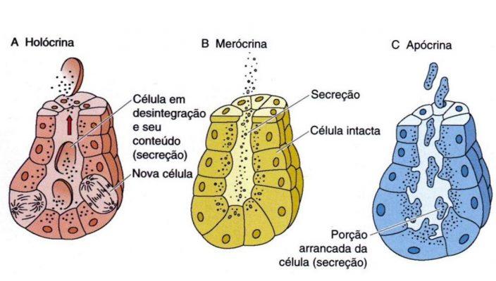 glandula holocrina - apocrina e merocrina