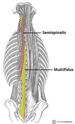 musculo semiespinal e multifidos