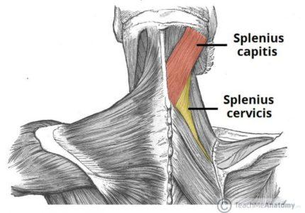 musculos esplenios
