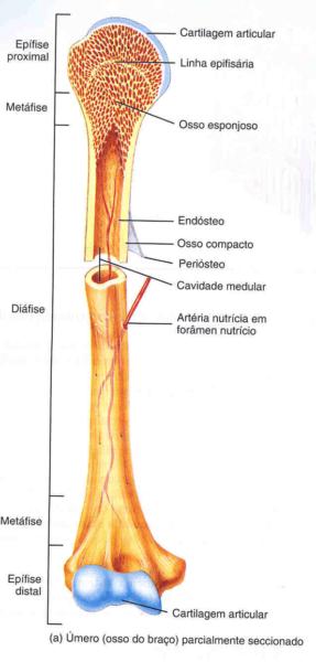 osso longo, medula óssea, linha epifisária