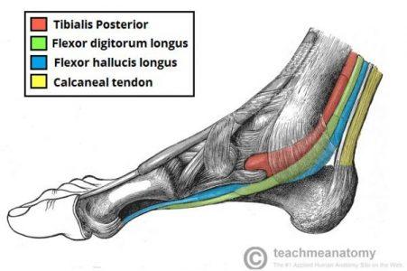 tibial posterior e flexor longo do hálux