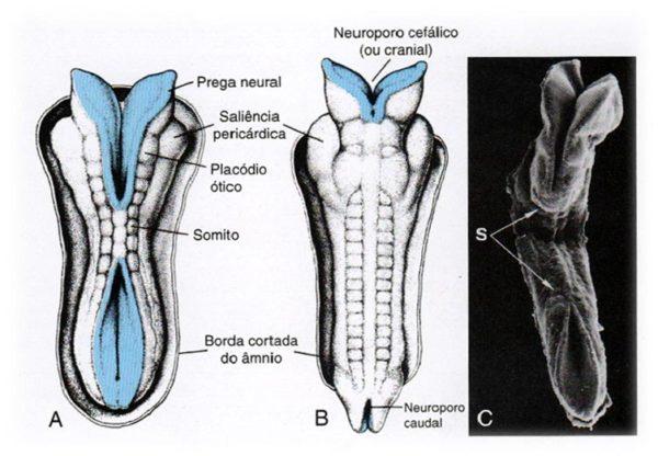 tubo neural
